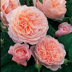 David Austin Roses Catalog | ... catalogo rose shop online Rosa William Morris Auswill David Austin