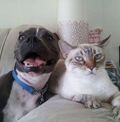 World's Most Dangerous Dogs: German Shepherd VS Pitbull? Pit Bulls, Funny Dog Videos, Funny Dogs, Cute Dogs, Funny Pitbull, Funny Animal Pictures, Funny Animals, Cute Animals, Funny Photos