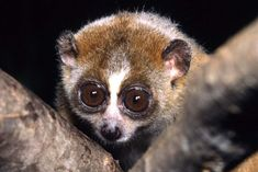 Pygmy slow loris The pygmy slow loris is a primate found in Vietnam, Laos, Cambodia and China. It has scent glands near its elbows that produce a substance which, when mixed with saliva, creates a poison. This gives the loris an indirectly venomous bite. Primates, Mammals, Bizarre Animals, Dangerous Animals, Exotic Animals, Deadly Animals, Unusual Animals, Nocturnal Animals, Poisonous Animals