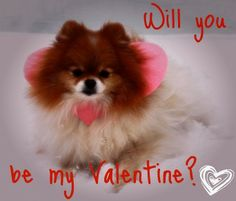 Pom-Valentine  #pomeranian