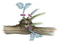 Zeichnung Knoten der Haupttriebe