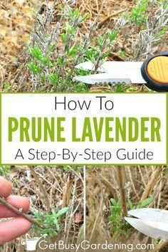 Lavender Pruning, Lavender Plant Care, Growing Lavender, Lavender Fields, Lavender Leaves, Lavander, Types Of Lavender Plants, Lavender Roses, Tea Roses