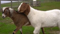 Blind goat saved by seeing eye… goat?