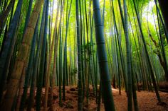 https://flic.kr/p/uCyqzF   Golden leafs on the floor of the bamboo forrest   The peaceful magic of a Japanese Bamboo forest