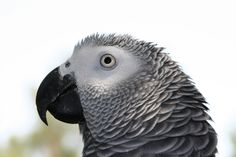 arkive.org + african grey parrot - Google Search