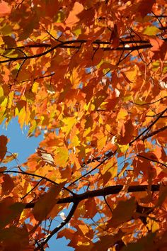 Sugar Maple Fall Colors in Apple Valley, Minnesota. Photographer: Trudy Koepsell