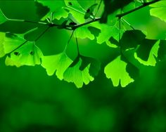 <3 Ginko leaves...just not the female trees and their berries (they smell like vomit...)
