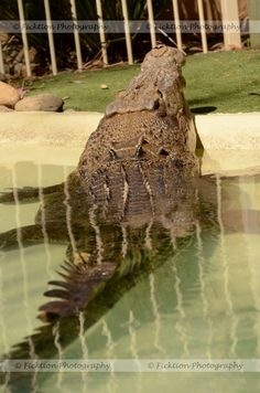 Ngukhur (Noo-kah) is a 14.7 foot long saltwater crocodile that currently resides at the Featherdale Wildlife Park near Sydney, Australia. Feeding demonstrations go on every day, but like most...