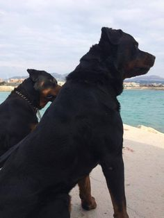 Rottweiler Breed, Its A Wonderful Life, Big Dogs, Cuddling, Labrador, Pup, Best Friends, Cute Animals, The Incredibles