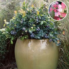 BrazelBerries® Peach Sorbet™ Blueberry  Dwarf Blueberry Bushes Perfect For  The Patio Container
