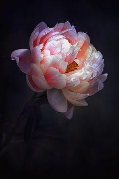 New Flowers Peonies Garden Inspiration 61 Ideas Art Floral, Peony Flower, Flower Art, Cactus Flower, Amazing Flowers, Beautiful Flowers, Exotic Flowers, Flor Tattoo, Peonies Garden