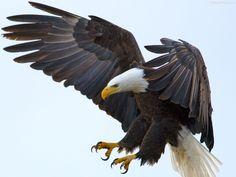 eagle wings - Google 搜尋