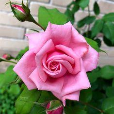 Rose my Love! Amazing Flowers, Beautiful Roses, Beautiful Flowers, Lavender Roses, Pink Roses, Rose Reference, Rose Perfume, Rosa Rose, Rose Wallpaper