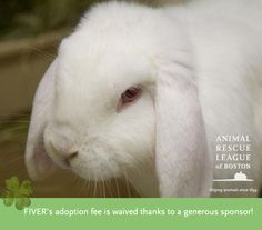 Looking for a pet with a lot of spunk? Meet FIVER! He's a 2yo (big) mini-lop & he's looking for an adopter who has experience with bunnies.  Thanks to a generous donor, FIVER's adoption fee is waived, so he's ready to go home with you!!! Come by the Boston shelter (Tues/Wed/Thurs 1-7, Fri/Sat/Sun 1-4) to meet him! #pets #rabbits #bunnies #adopt