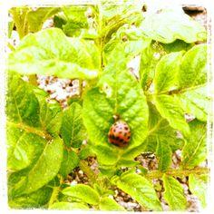 5/7 テントウムシダマシ!!葉っぱを食う悪党じゃ~!つぶせつぶせー!   Fake Ladybird.This insect eat the leaves.Crush by hand!