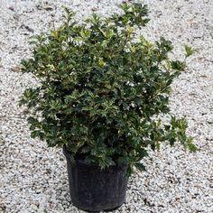 Osmanthus Heterophyllus Goshiki Tricolor #vivaiguardini #arbusti #nursery  #vivai #verona #pescantina