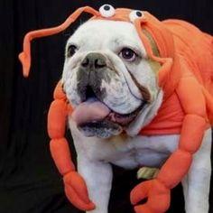 Resultado de imagen para bulldog dressed up