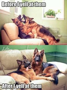 Before And After I Yell At Them cute animals dogs adorable dog puppy animal pets funny animals funny pets funny dogs Cute Funny Animals, Funny Animal Pictures, Funny Dogs, Rambo 3, Cute Puppies, Cute Dogs, Tierischer Humor, German Shepherd Dogs, German Shepherds