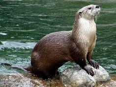River Otters Swimming | The River Otter | Interesting Sea Animal