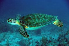 Image from http://maroonweekly.com/wp-content/uploads/2014/12/Green-Sea-Turtle-061022-French-Reef-KL-IMG_4313.jpg.