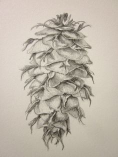 Pine cone Douglas Fir original pencil drawing by anne4bags