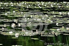 Water lilies in the Lobau Donauauen National park