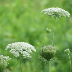 Queen Anne's Lace for the royal baby