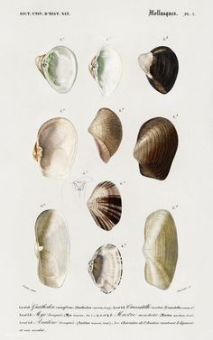 Free Public Domain | Different types of mollusks illustrated by Charles Dessalines D' Orbigny (1806-1876). Digitally enhanced from our own 1892 edition of Dictionnaire Universel D'histoire Naturelle.