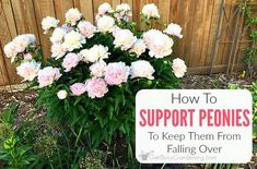 If peony flowers are left unsupported, they will fall over. Learn about peony supports, how to keep peonies from drooping, and other peony care tips. Growing Peonies, Growing Flowers, Peony Care Tips, Container Gardening, Gardening Tips, Flower Gardening, Peony Support, Foundation Planting, Wildflower Seeds