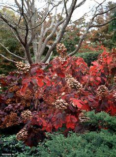 Oakleaf Hydrangea (Hydrangea quercifolia 'Snow Queen'), as an alternative to the serviceberry. Hydrangea Quercifolia, Hortensia Hydrangea, Hydrangea Garden, Hydrangeas, Farmhouse Landscaping, Landscaping Plants, Shade Plants, Cool Plants, Farm Gardens
