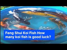Feng Shui Koi Fish How many koi fish is good luck? Guide