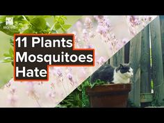 Best Mosquito Repellent: 10 Plants That Mosquitoes Hate - Backyardscape Best Mosquito Repellent, Mosquito Repelling Plants, Backyard Projects, Garden Projects, Best Perennials, Flowers Perennials, Burn Barrel, Types Of Mulch