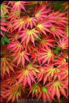 Acer shirasawanum ' Sensu ' Moving Fan Shirasawa's Maple Mail Order Conifer Nursery of Dwarf and Min Fairy Garden Plants, Garden Trees, Plants, Japanese Garden Design, Japanese Garden, Shrubs, Japanese Maple, Deciduous Trees, Trees To Plant