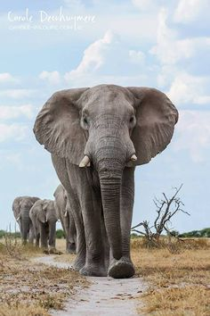 A herd of elephants march towards a waterhole in Nxai Pan, Botswana by Carole Deschuymere Wildlife Photography