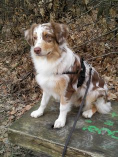 Phenomenal 100+ Amazing Australian Shepherds https://meowlogy.com/2017/03/28/100-amazing-australian-shepherds/ Should you be attempting to avert a dog with lots of of odor, keep away from breeds with excessive folds and floppy ears. Every dog needs to be traine...