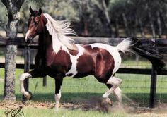 National Show Horses