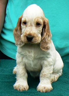 English Cockers and Golden Retrievers ::::: Foxwoodskennel.com ...