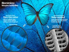 Morpho butterflies, dyes free colours and water -proof. Biomimicry as nature builds it. Illustrations Kenneth buddha Jeans