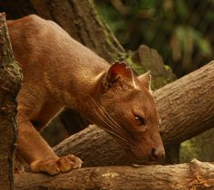 Fossa - The fossa is a cat-like, carnivorous mammal that is endemic to Madagascar. It is a member of the Eupleridae, a family of carnivorans closely related to the mongoose family von Regina Johannsen