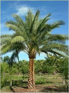 Sylvester Palm Tree