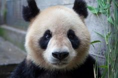 $100 will purchase a hand-held GPS tracking system to help monitor wild pandas - Saving Giant Pandas in China with Earthwatch