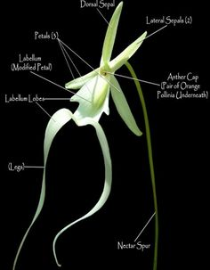 The Spooky and Rare American Ghost-Orchid / Palm-Polly / White Frog-Orchid: Dendrophylax lindenii