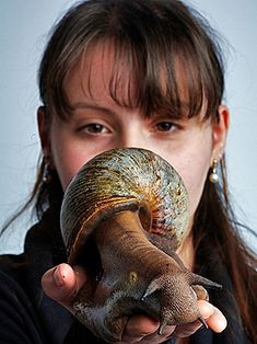 The largest known land gastropod is the African giant snail, Achatina achatina. It can weigh up to 2 lbs.