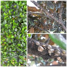 31 Best Tree Shrub Pests Images In 2017 Shrubs Bugs Insects