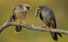 red-footed falcons by Hungarian photographer Beyonce Mate