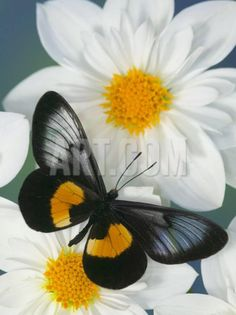 Miyana Meyeri Butterfly on Flowers nature Beautiful Bugs, Beautiful Butterflies, Beautiful Flowers, Beautiful Life, Simply Beautiful, Absolutely Stunning, Flying Flowers, Butterflies Flying, Butterfly Kisses