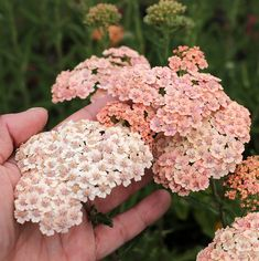 Specializing in rare and unusual annual and perennial plants, including cottage garden heirlooms and hard to find California native wildflowers. Yarrow Flower, Pink Garden, Flower Farm, Planting Flowers, Plants, Yarrow Plant, Achillea, Perennials, Flowers