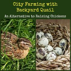 Do you dream of owning a flock of chickens but are restricted by local ordinances or the dictates of your HOA? City Farming with Backyard Quail Raising Quail, Raising Chickens, Baby Chickens, Backyard Farming, Chickens Backyard, Backyard Ideas, Garden Ideas, Quail Coop, Portable Chicken Coop