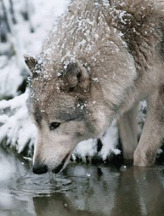 A wolf on acid. Tagged with wolf Wolf Love, Wolf Spirit, My Spirit Animal, Wolf Pictures, Animal Pictures, Trippy Pictures, Beautiful Creatures, Animals Beautiful, Tier Wolf