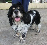 Kawasaki is an adoptable Cocker Spaniel Dog in New Orleans, LA. Kawasaki. is a 7 year old black and white parti cocker spaniel who is neutered.kawasaki is a happy-go-lucky dog who loves attention and...